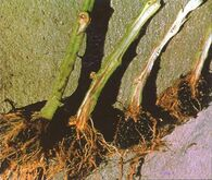 Tomato Root Rot