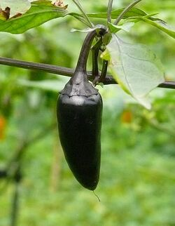 Chilli Hungarian black