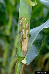 Corn Bacterial black stalk Erwinia carotovora