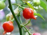 Capsicum praetermissum 'Cumari'