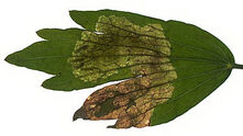 Lovage leaf Celery fly Euleia heraclei