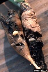 Carrot Weevil Larvae