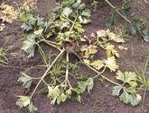 Celeriac Bacterial soft rot Pectobacterium carotovora subsp. carotovora