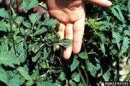 Tomato Tomato Spotted Wilt Virus Leaf