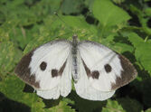 Large Cabbage white spread wings