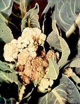 Cauliflower Boron deficiency