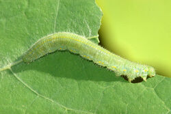 Small Cabbage White Caterpillar