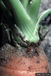 Carrot Weevil Crown