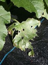 Courgette Slug Damage