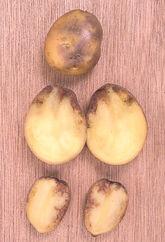 Potato Blight Dore Tuber