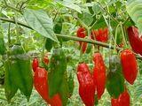 Capsicum chinense 'Hot paper lantern'