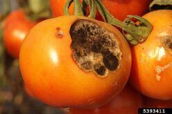 Tomato Early Blight Fruit