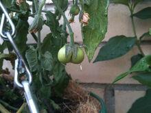 Tomato Fasciation