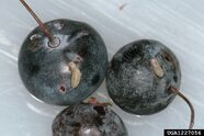 Blueberry Maggot (Rhagoletis pomonella)
