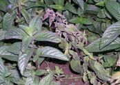 Mint Verticillium dahliae