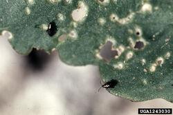 Cabbage Flea Beetle