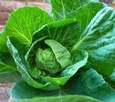 Summer cabbage