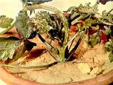 Celery Stem Crack Boron Deficiency