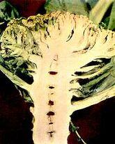 Cauliflower Boron deficiency Stalk