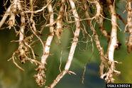 Corn Root-knot nematode Meloidogyne spp