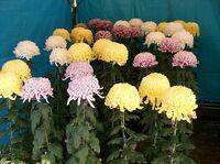 800px-Chrysanthemum morifolium cvs2