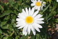 Asteraceae spec 003