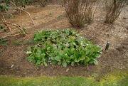 Bergenia crassifolia by Nick.jpg