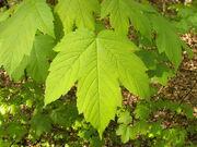 Acer pseudoplatanus 002.jpg
