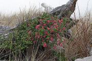 Ribes sanguineum 5724.jpg