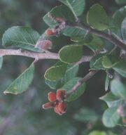 Lemonadeberry.jpg