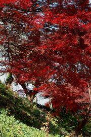 Acer palmatum img