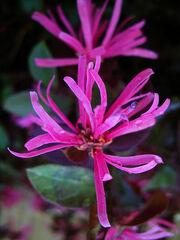 Loropetalum-chinensis-rubrum.jpg
