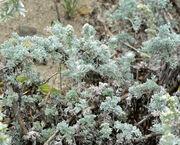 Artemisia pycnocephala 1.jpg