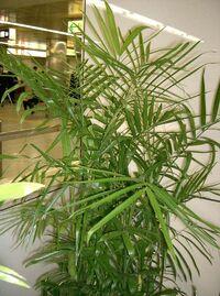 Chamaedorea seifrizii7