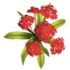 Red Hydrangea