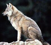 Holland-Wolf
