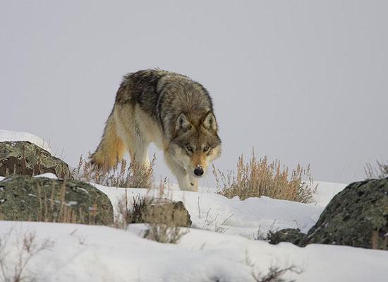 YS BLKTLPDS wolf 11 Kaiser