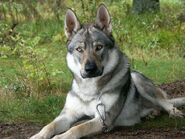 German-Shepherd-Wolf-Mix