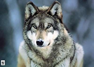 Gray wolf montana 400x285