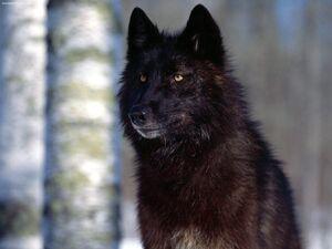 Black-wolf2