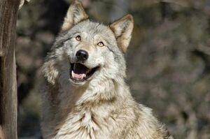 Briwolf
