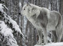LWhite Wolf