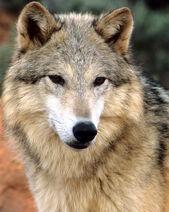 Gray-wolf-beauty-larry-allan