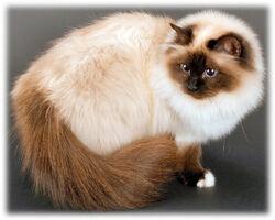 Gato birmanês