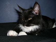 Black and white longhaired Norwegian Forest Cat