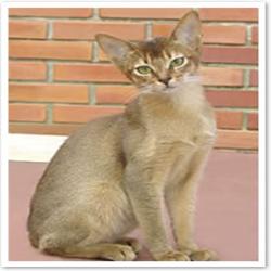 Gato-abissínio