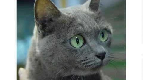 Raças de Gatos Domésticos - (Em Ordem Alfabética)