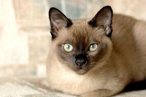 Gato-tonquines