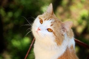 Filhote-de-gato-com-olhos-cor-de-mel