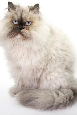 Gato-himalaio